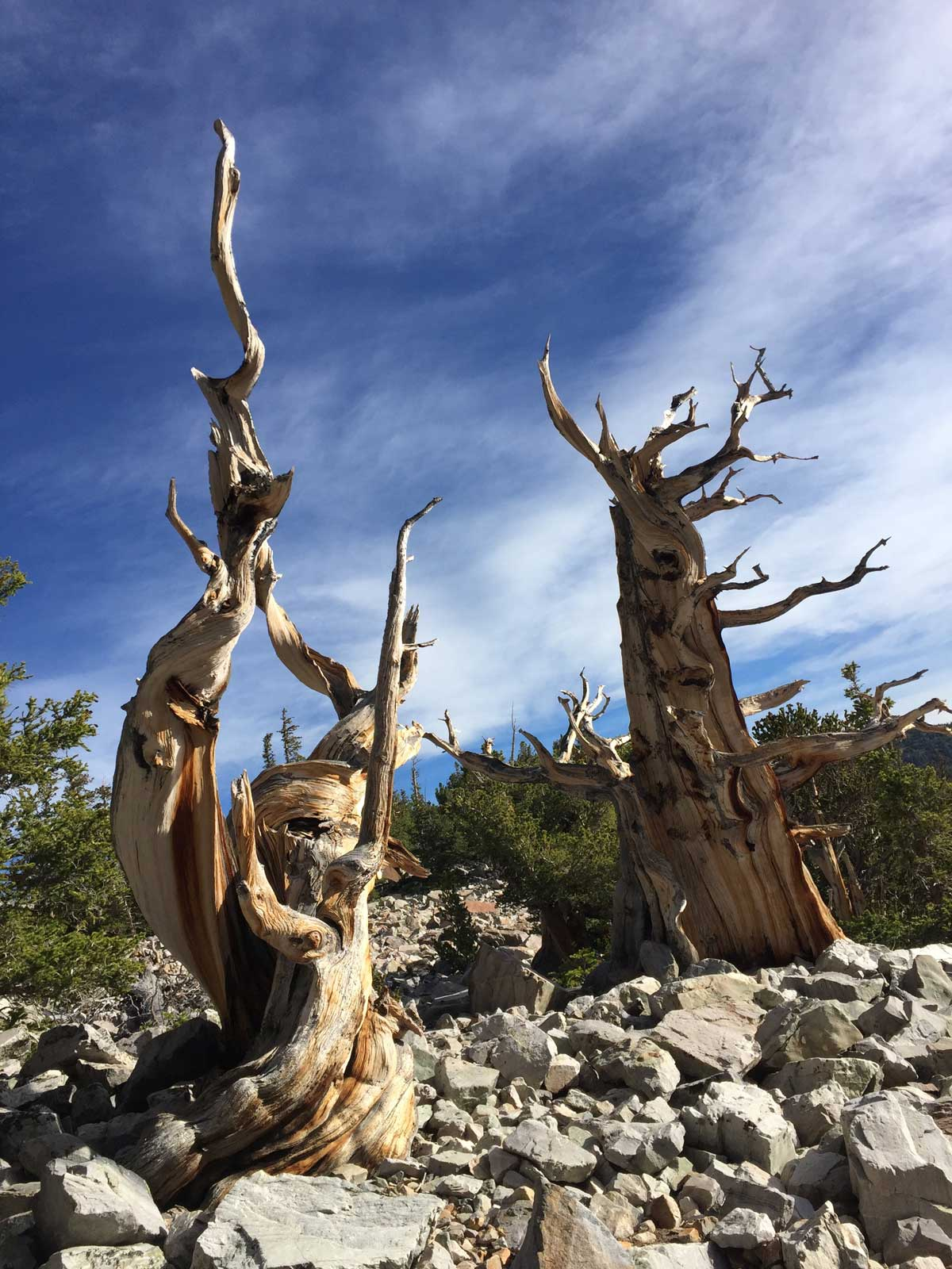 Bristlecone Pine at the Great Basin National Park
